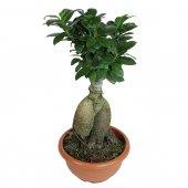 Bonsai Ficus Ginseng - altezza 40 cm