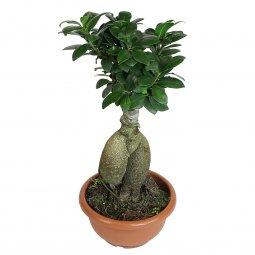Copertina di 'Bonsai Ficus Ginseng - altezza 40 cm'