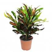 Croton Mammy - altezza 60 cm