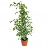 Ficus Benjamin Variegato - altezza 1 m