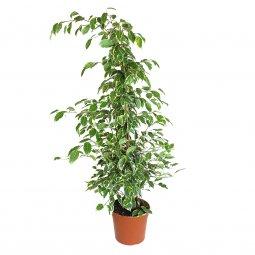 Copertina di 'Ficus Benjamin Variegato - altezza 1 m'