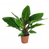 Philodendron Imperial Green - altezza 60 cm