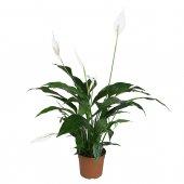 Spathiphyllum - altezza 65 cm