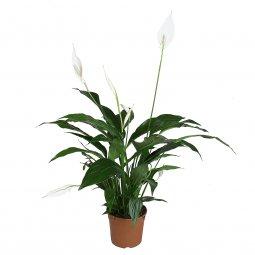 Copertina di 'Spathiphyllum - altezza 65 cm'