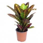 Croton Petra - altezza 60 cm
