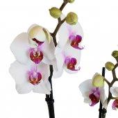 Immagine di 'Orchidea Phalaenopsis con due tralci fioriti - altezza 60 cm'