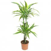 Dracaena Fragrans Lemon Lime - altezza 90 cm