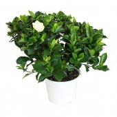 Gardenia - altezza 45 cm