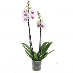 Copertina di 'Orchidea Phalaenopsis con due tralci fioriti - altezza 60 cm'