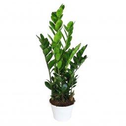 Copertina di 'Zamioculcas zamilifolia - altezza 80 cm'