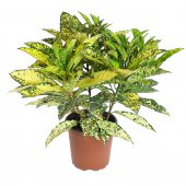 Croton Goldstar - altezza 60 cm