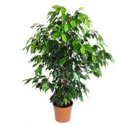 Copertina di 'Ficus Benjamin - altezza 1 m'