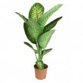 Dieffenbachia - altezza 80 cm