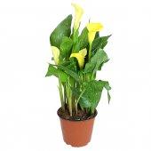 Calla gialla - altezza 40 cm